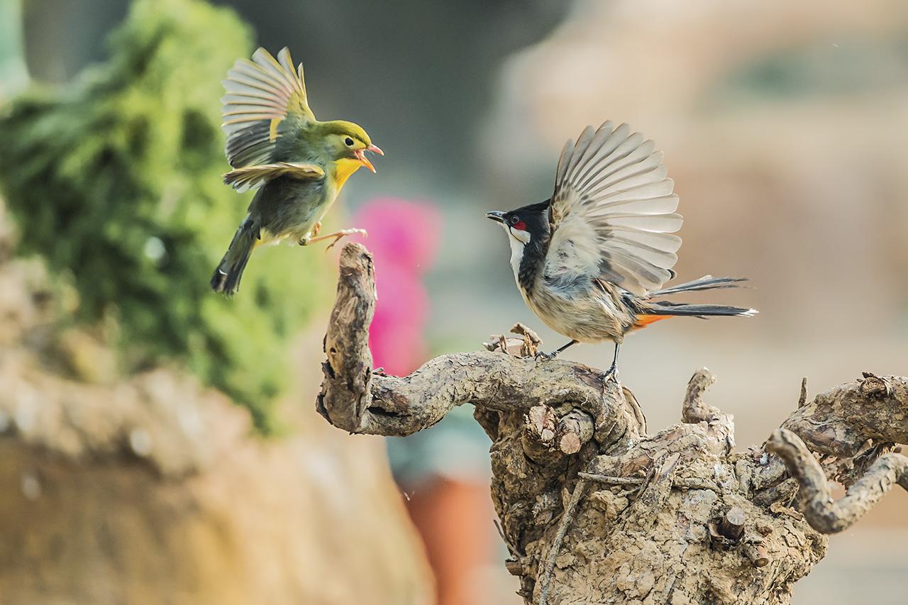 冀民作品:红耳鹎与相思鸟