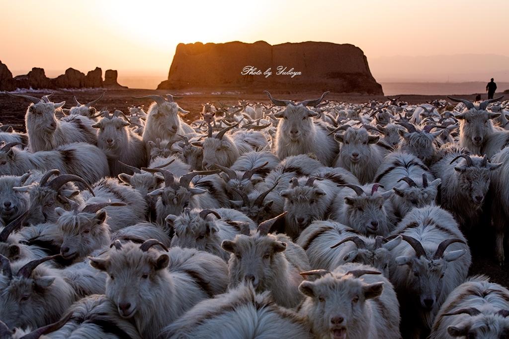 渔泊涯作品:羊年拍羊