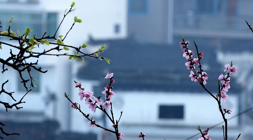 鲁北榕树作品:早春二月看婺源