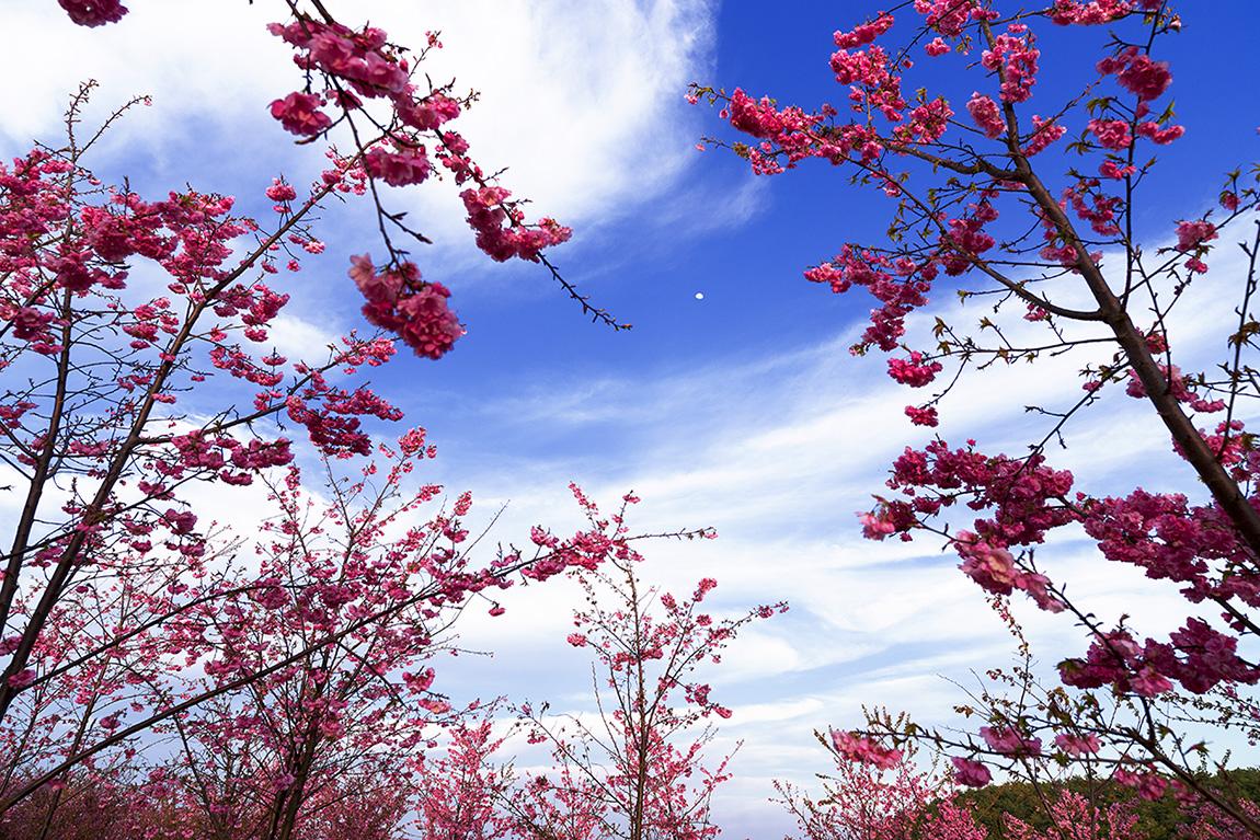小老者作品:赏樱花(组照)