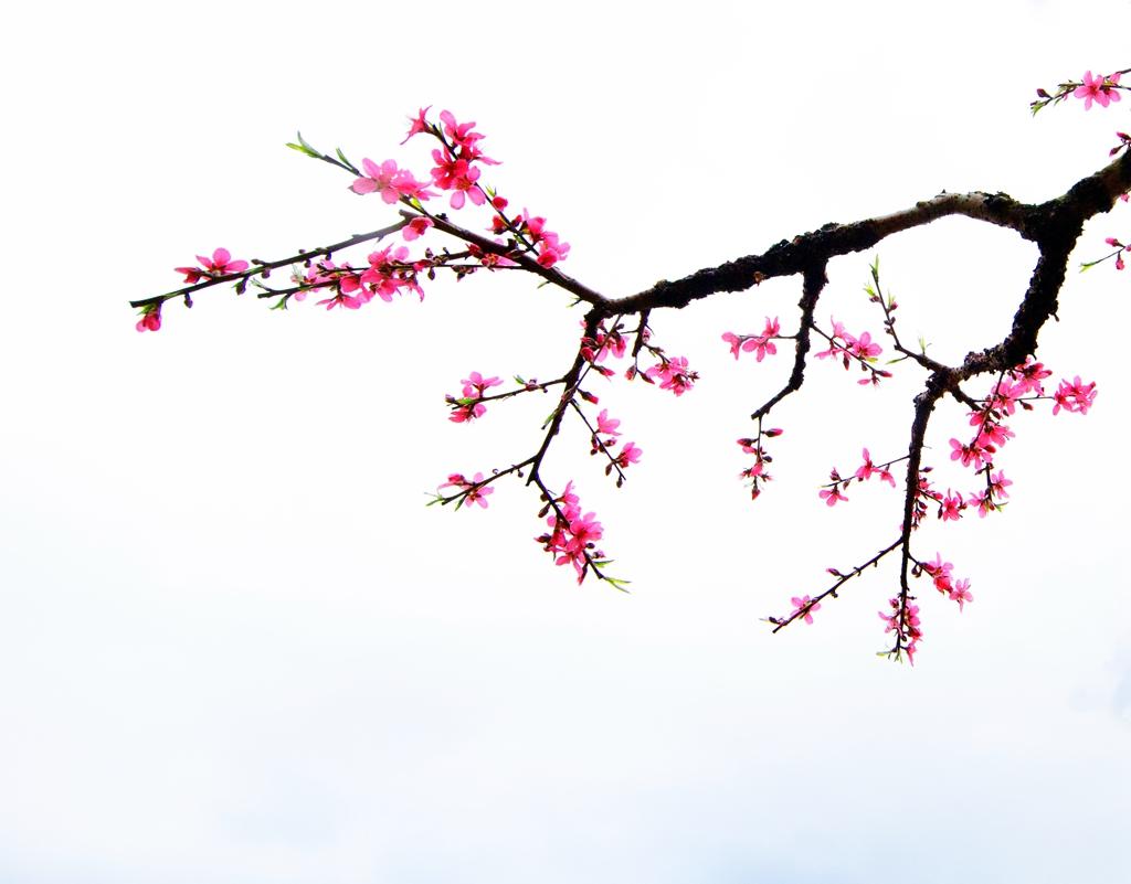 漆洁冰作品:桃花