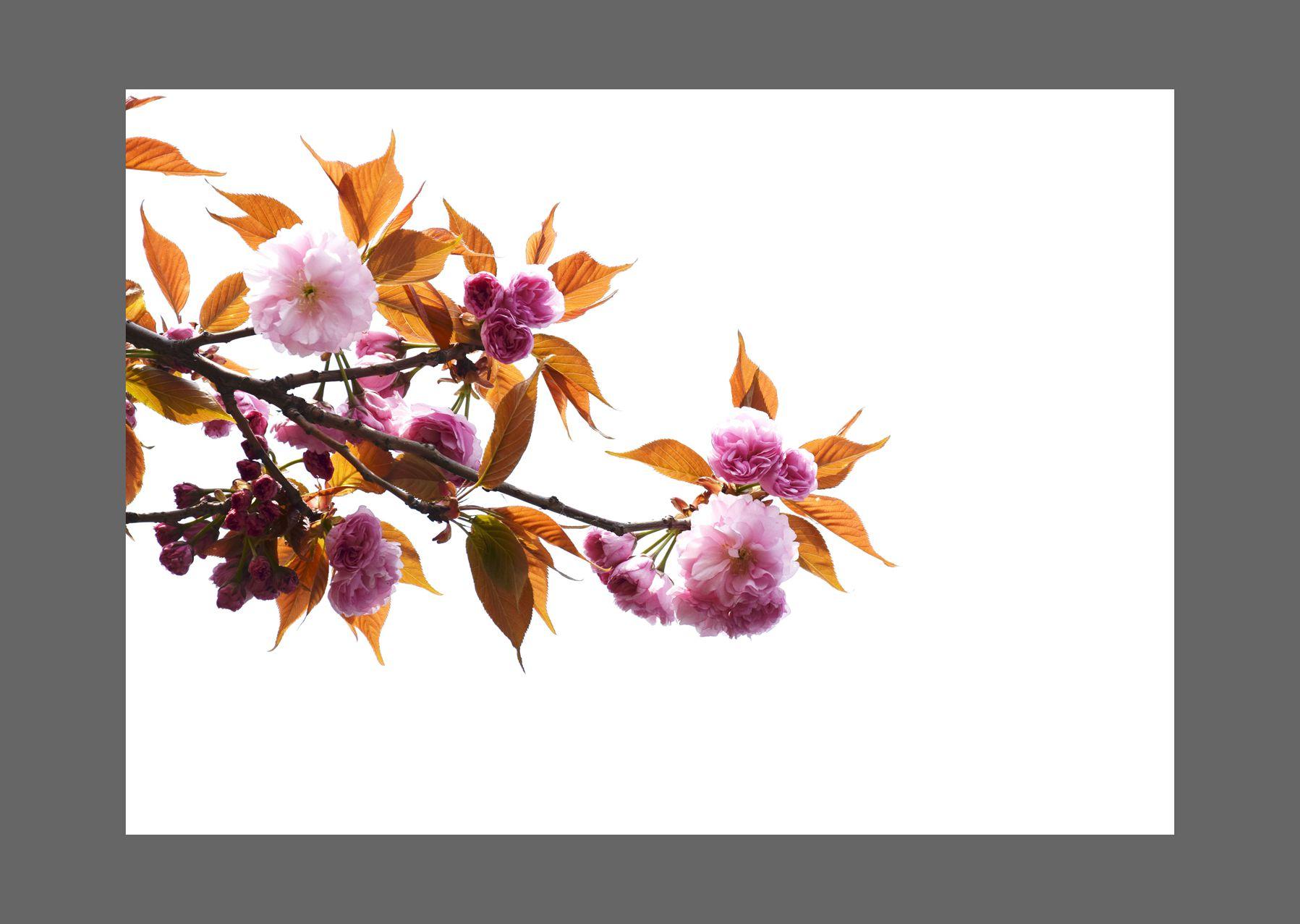 长江0081234作品:樱花