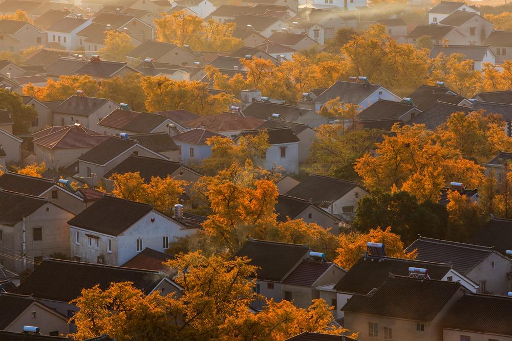 秋天,山村里的银杏叶都黄了,清晨的阳光下格外美