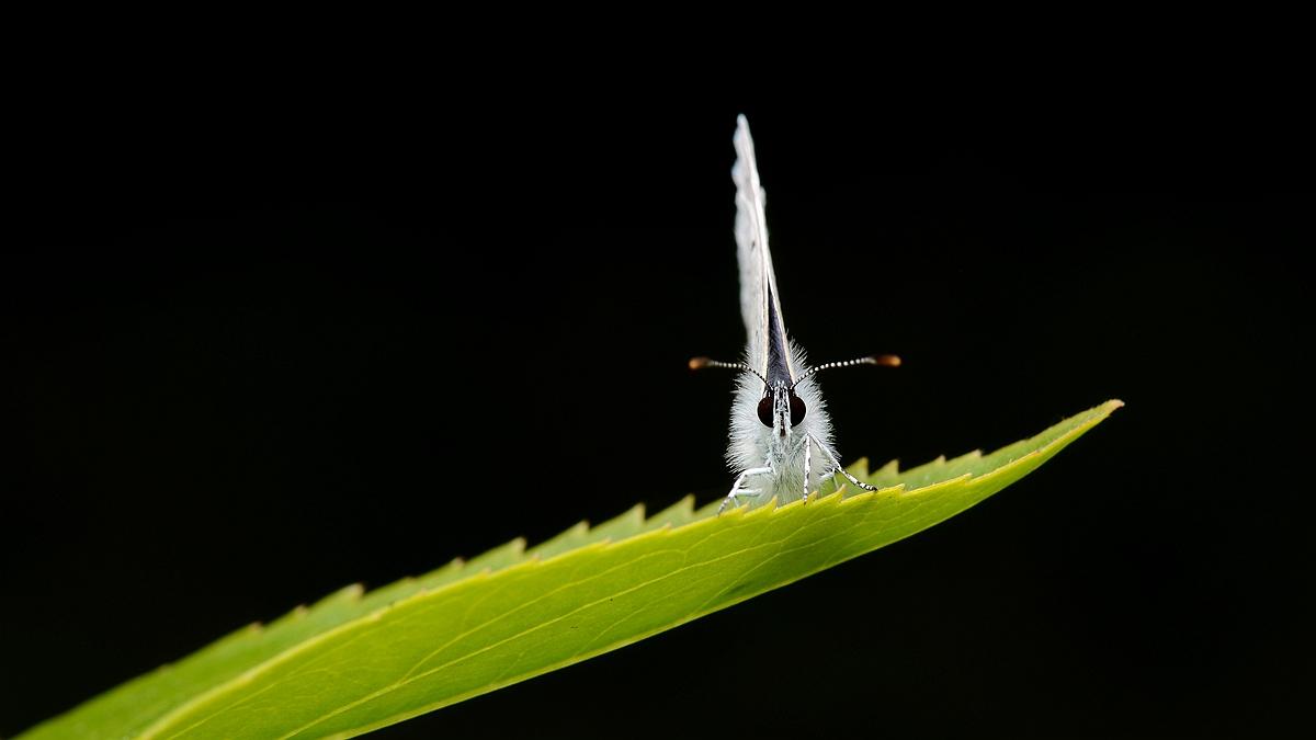 虫子光影作品:小粉蝶