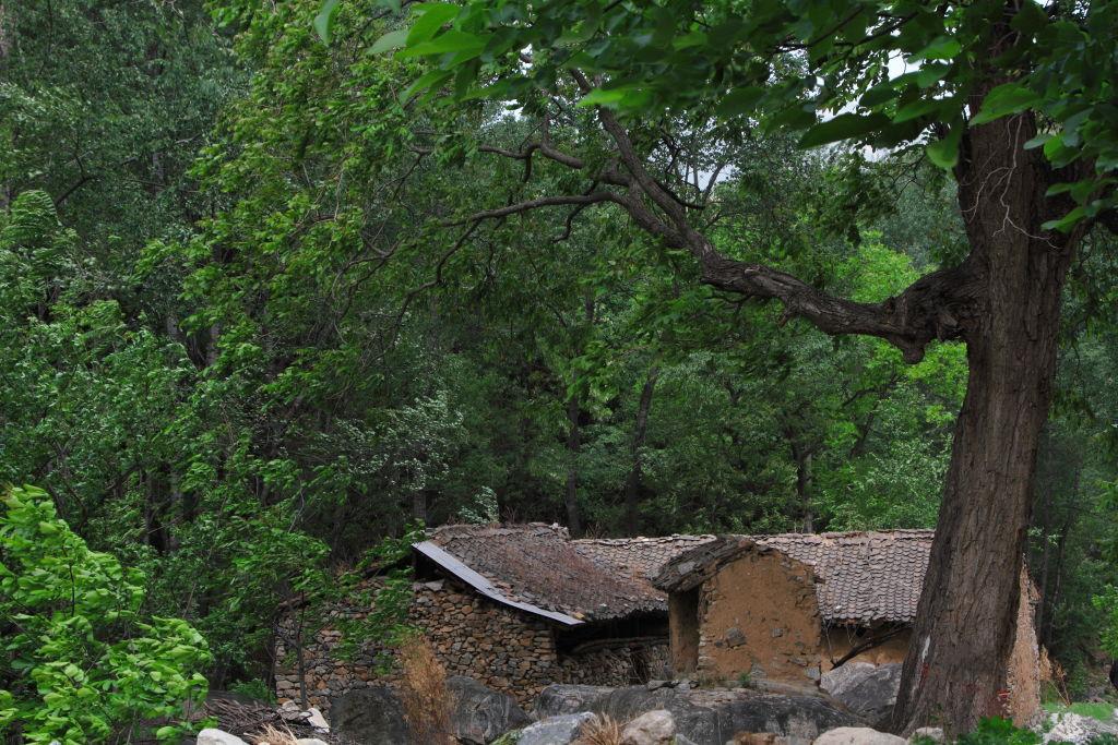 漫步春天作品:古树与老屋