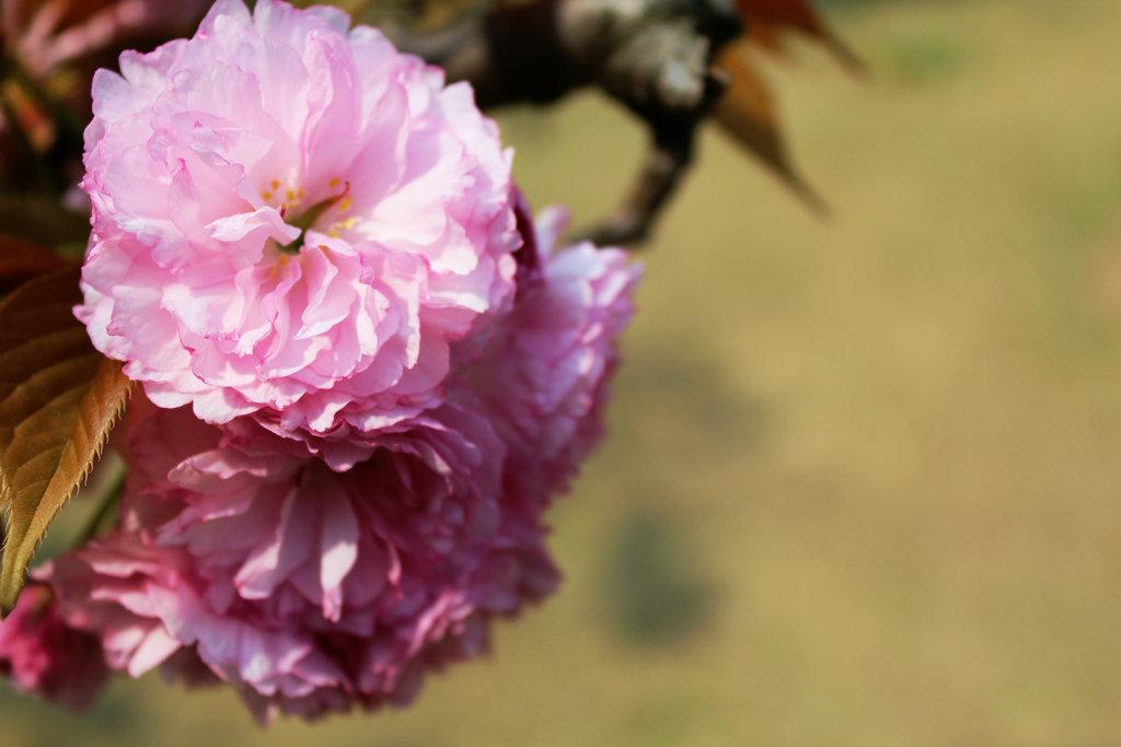淮上人家作品:樱花