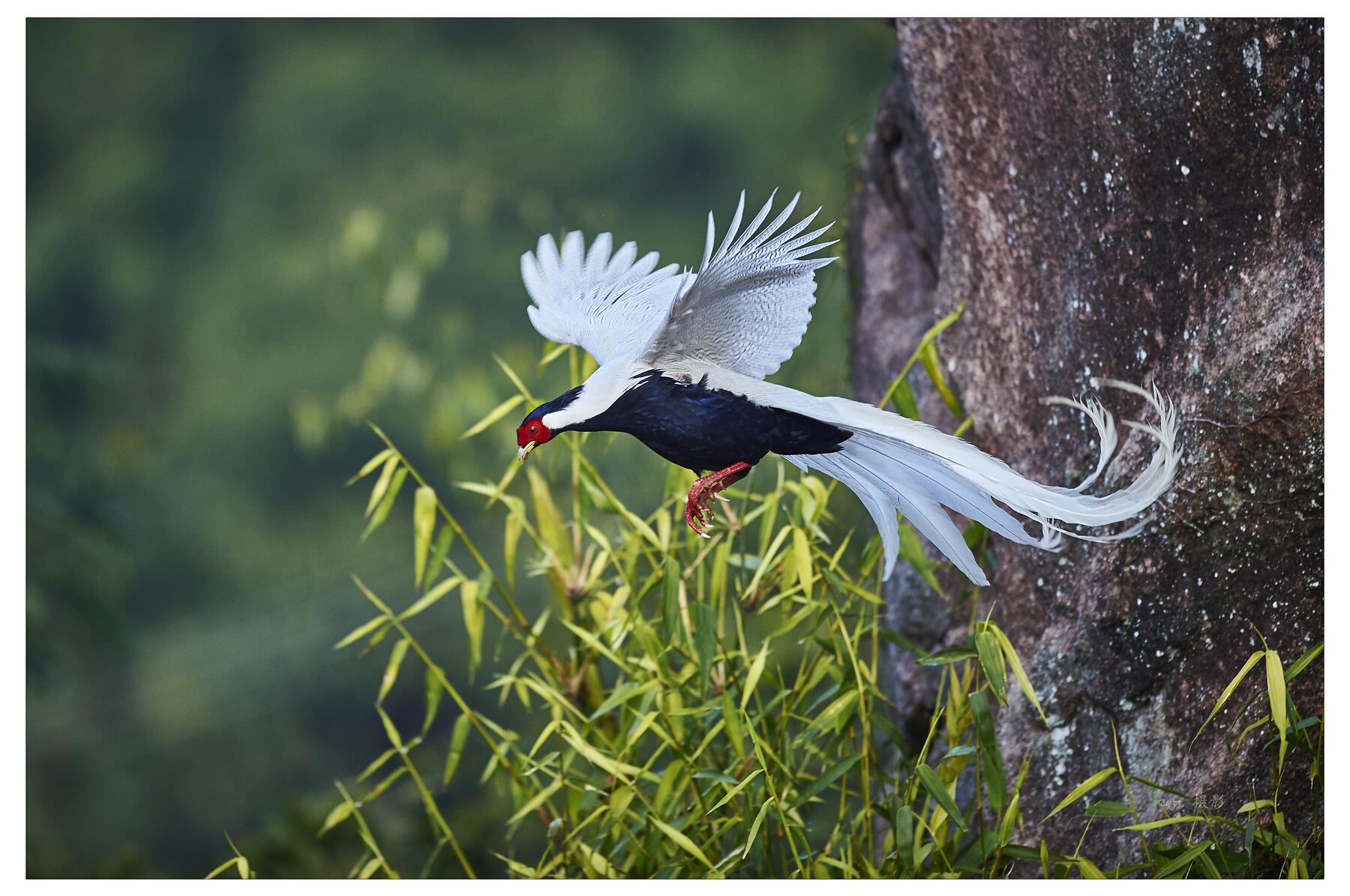 syzz作品:白鹇——鸟中王子