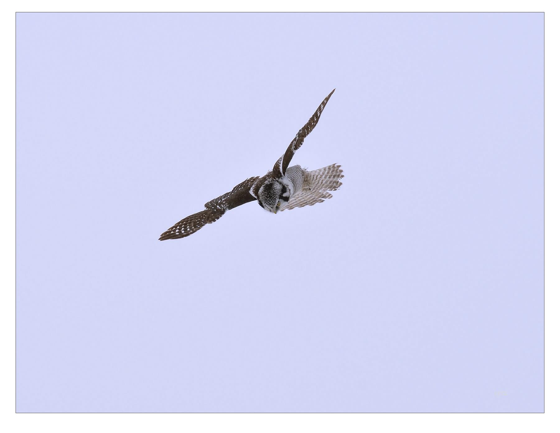 syzz作品:猛鸮