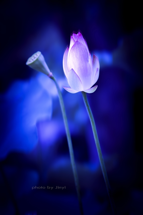 jinyiren作品:紫荷