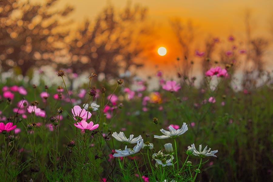 258777299作品:夕阳下的格桑花