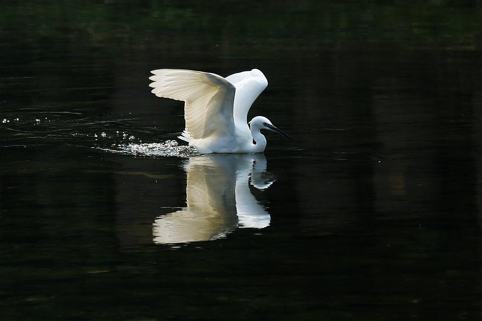 荷风竹影作品:白鹭