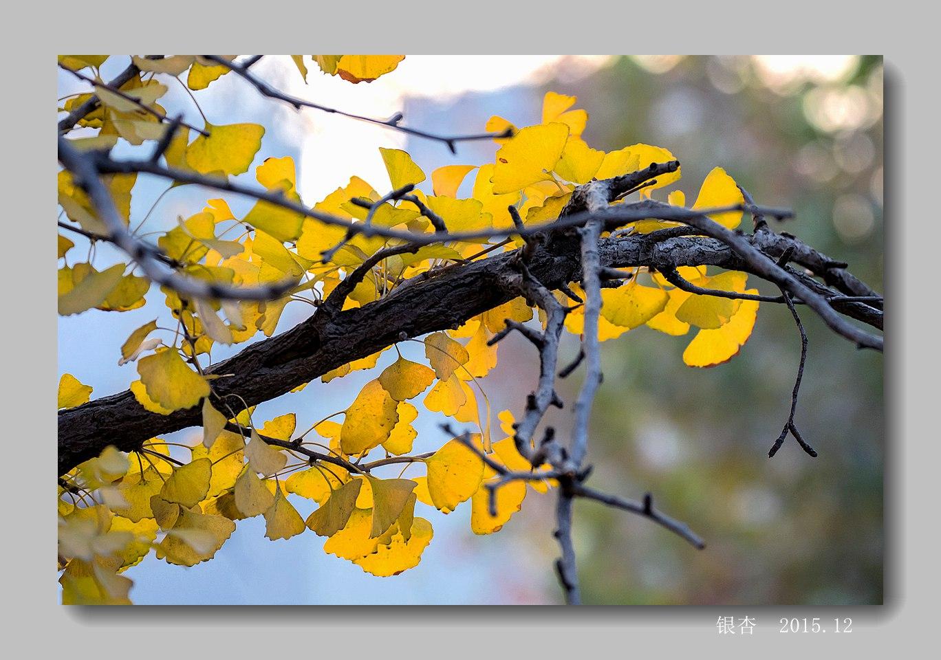银杏树叶画-初冬,银杏叶黄了