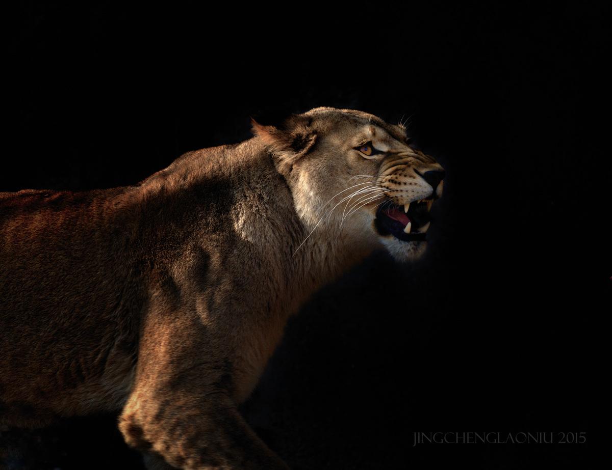 超新星作品:狮(雌)