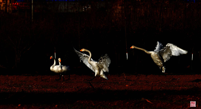羽佳518作品:大天鹅----狂欢夜