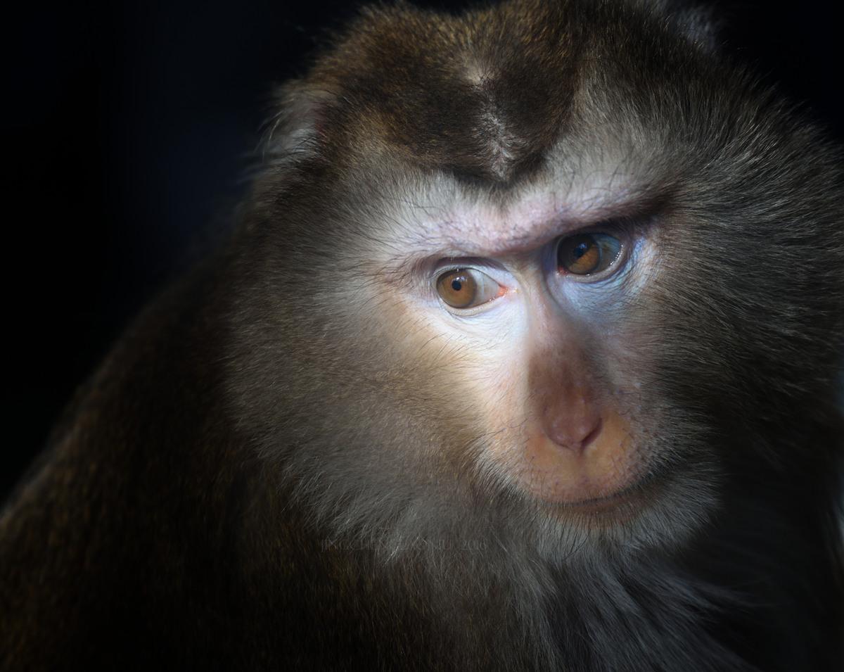 超新星作品:豚尾猴(组图)