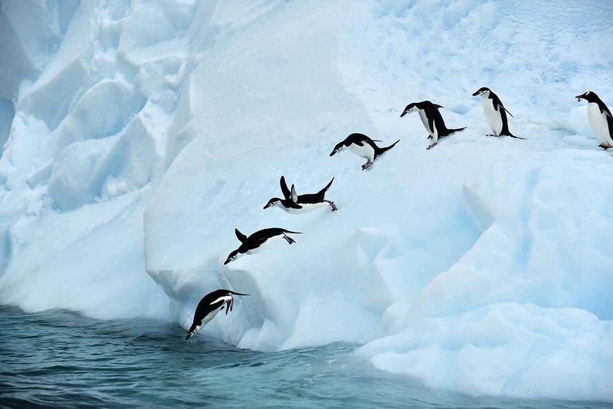 散淡居闲人作品:企鹅入水