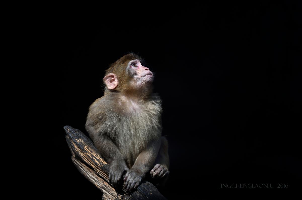 超新星作品:悠闲的小猕猴