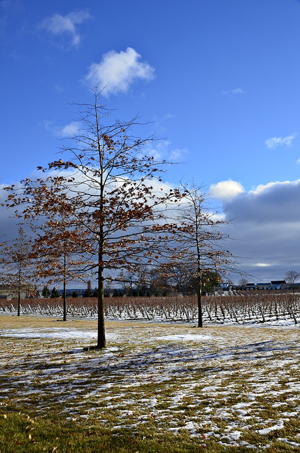 MARY88作品:冬日里的葡萄园