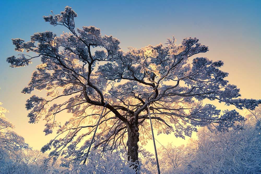 三车六斗居士作品:雪后黑虎松