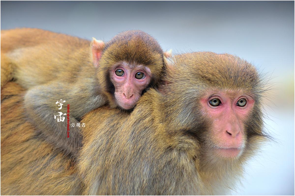 宇宙旁观者作品:猴年的猴儿