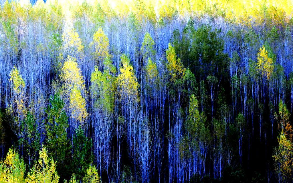 长春蓝枫作品:白杨林