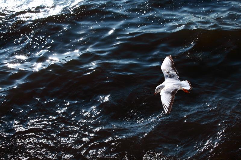 冲击波AH作品:滇池红嘴鸥