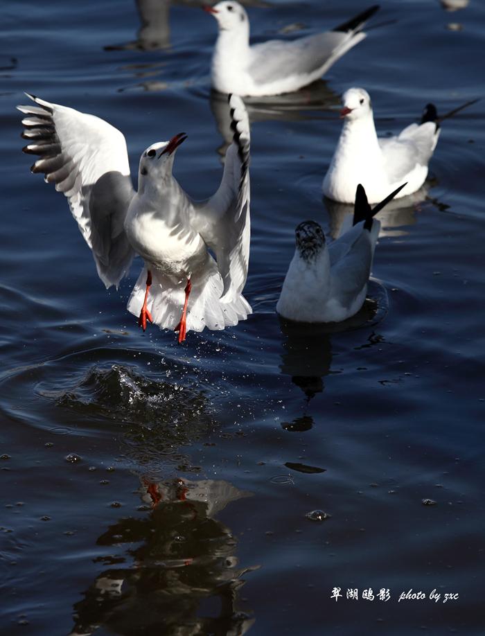 冲击波AH作品:翠湖红嘴鸥