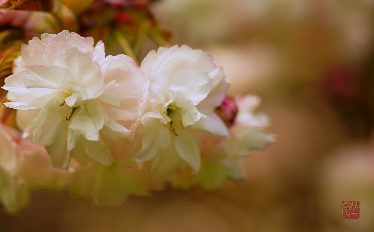 姑苏一梦作品:樱花季