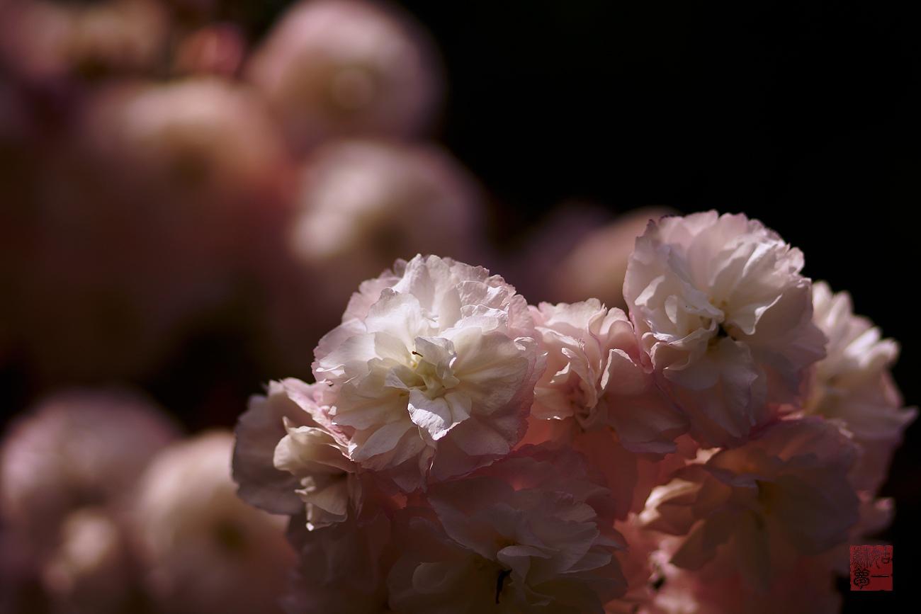 姑苏一梦作品:繁花与蕊