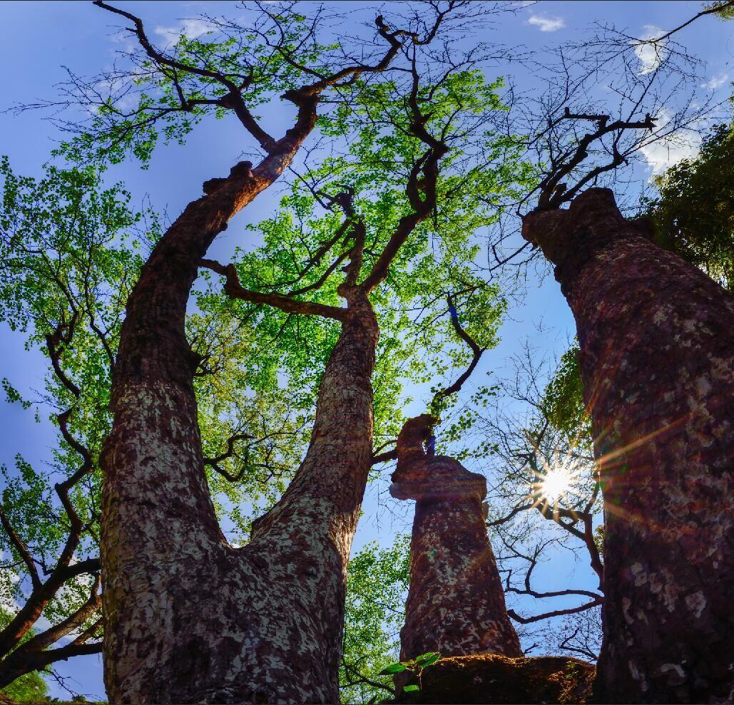 摄欲作品:百年梨树吐新枝