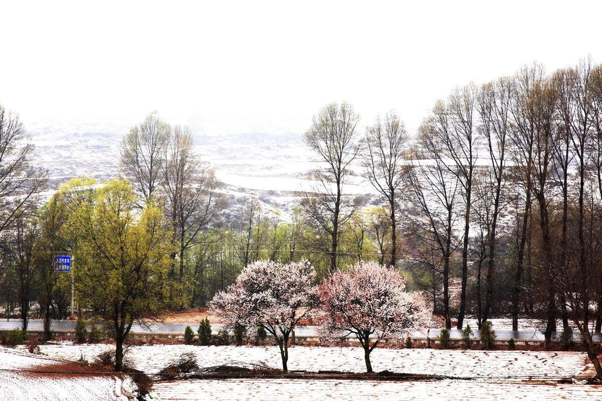 zxz0877作品:春雪。春花