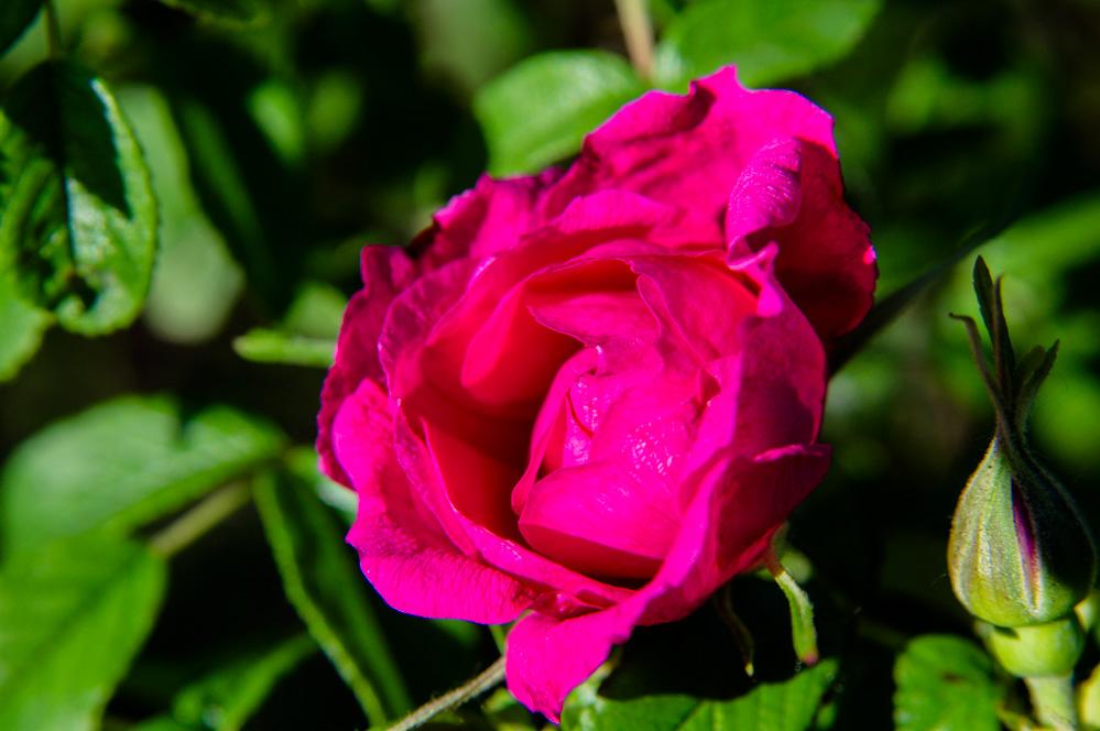 kevin060作品:红玫瑰