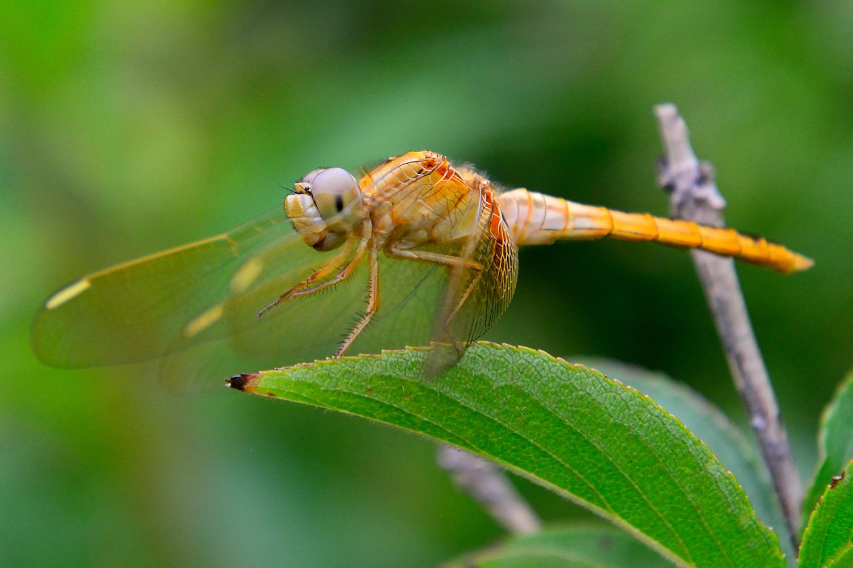 二郎山客作品:蜻蜓