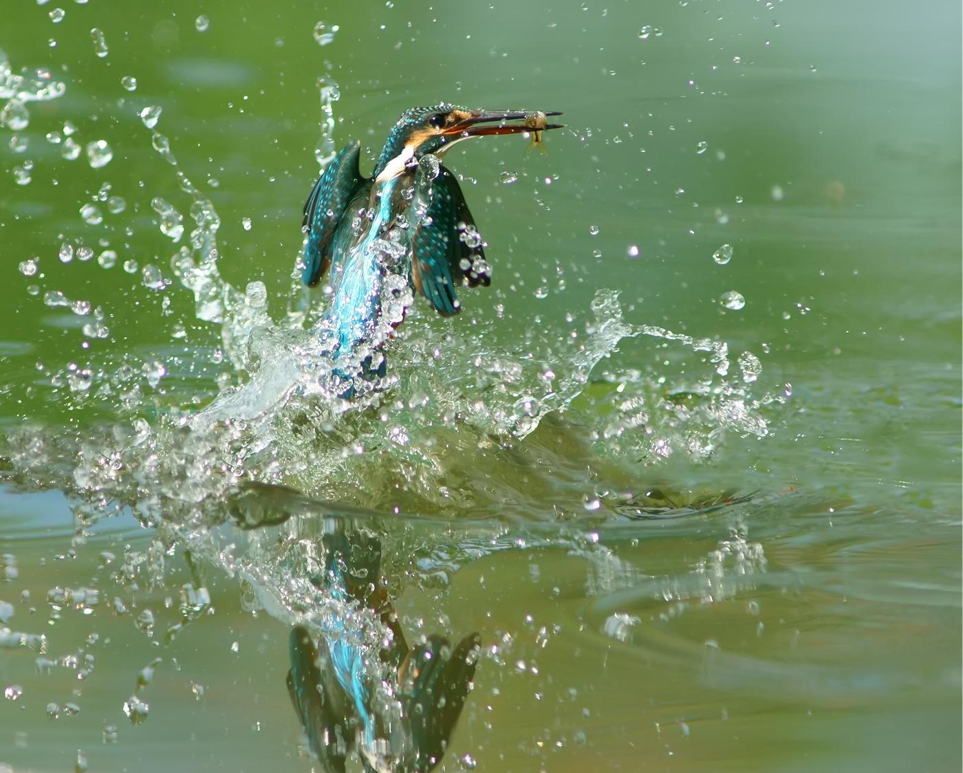 bucy090作品:出水的翠鸟