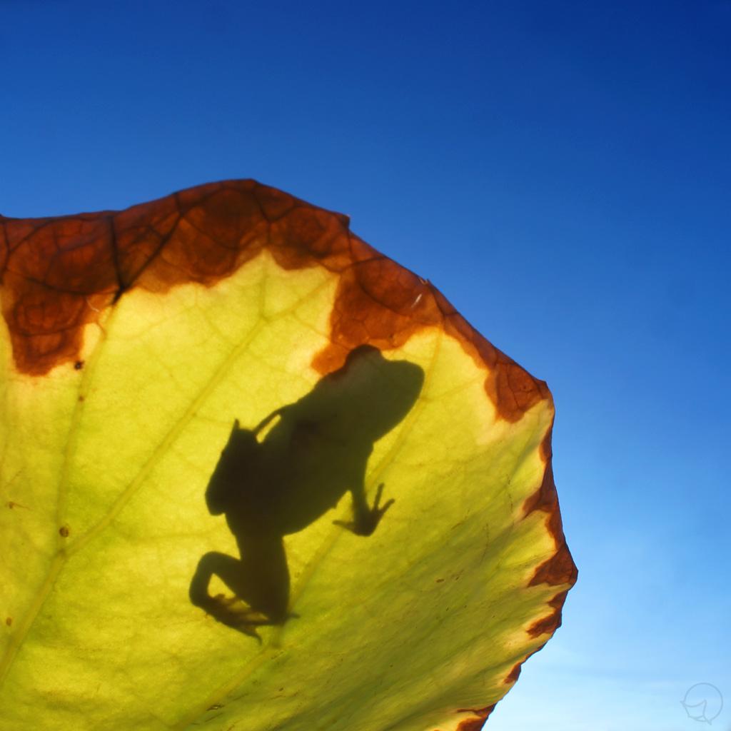 色彩摄影作品 荷叶上的青蛙