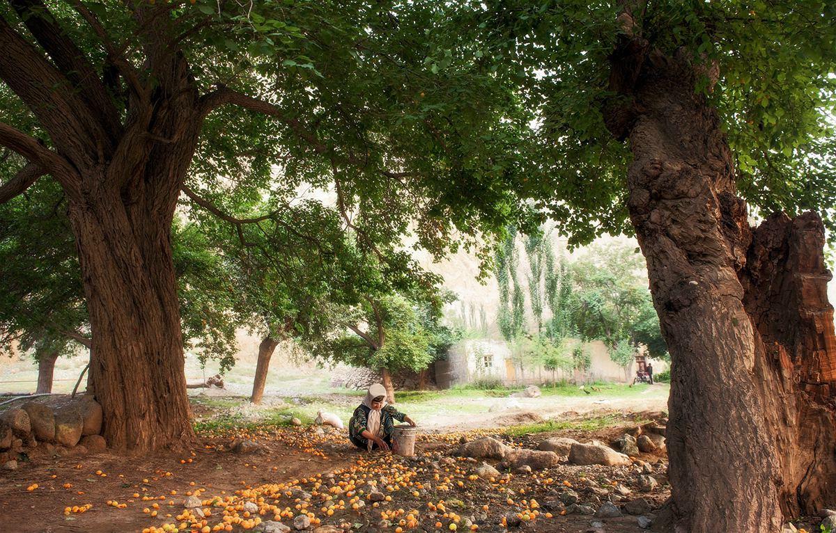 如风0758作品:捡杏子的老人