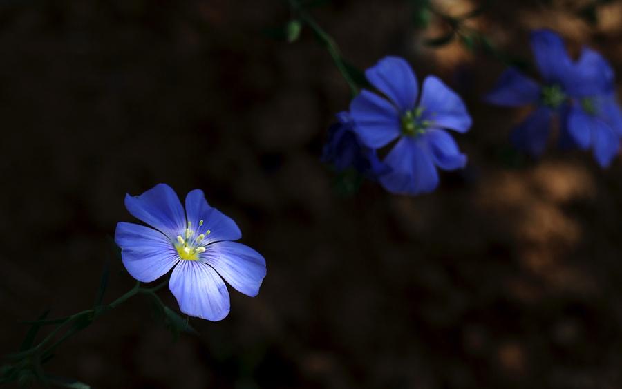无忌色人作品:蓝色的花