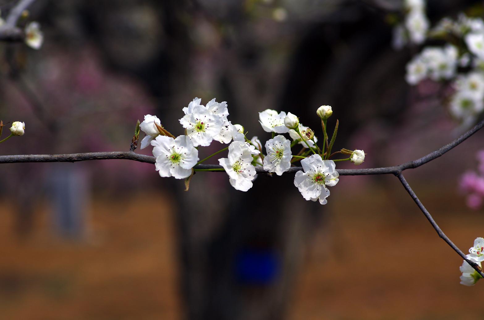 老难看作品:美丽的梨花