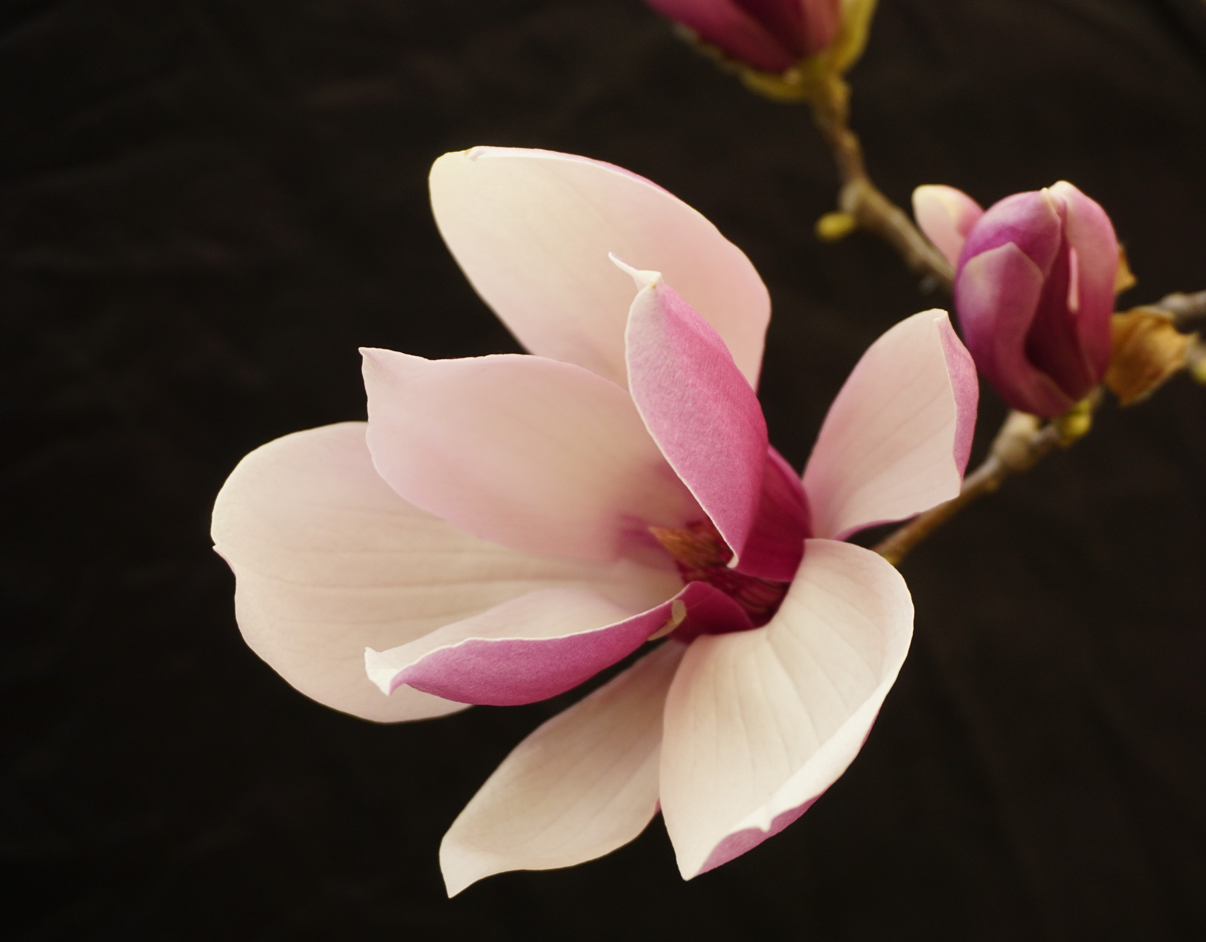 常樂作品:鮮艳的玉兰花