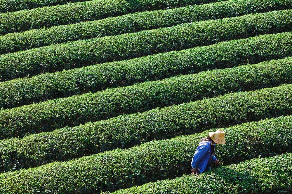 华野四纵作品:春绿茶园