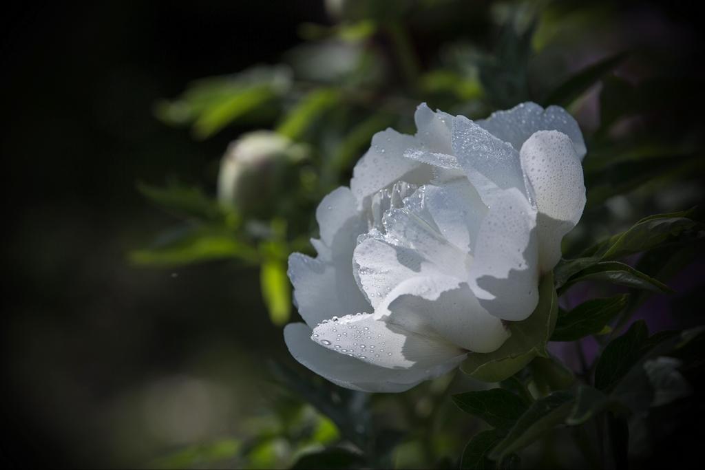 欧阳姐作品:牡丹花