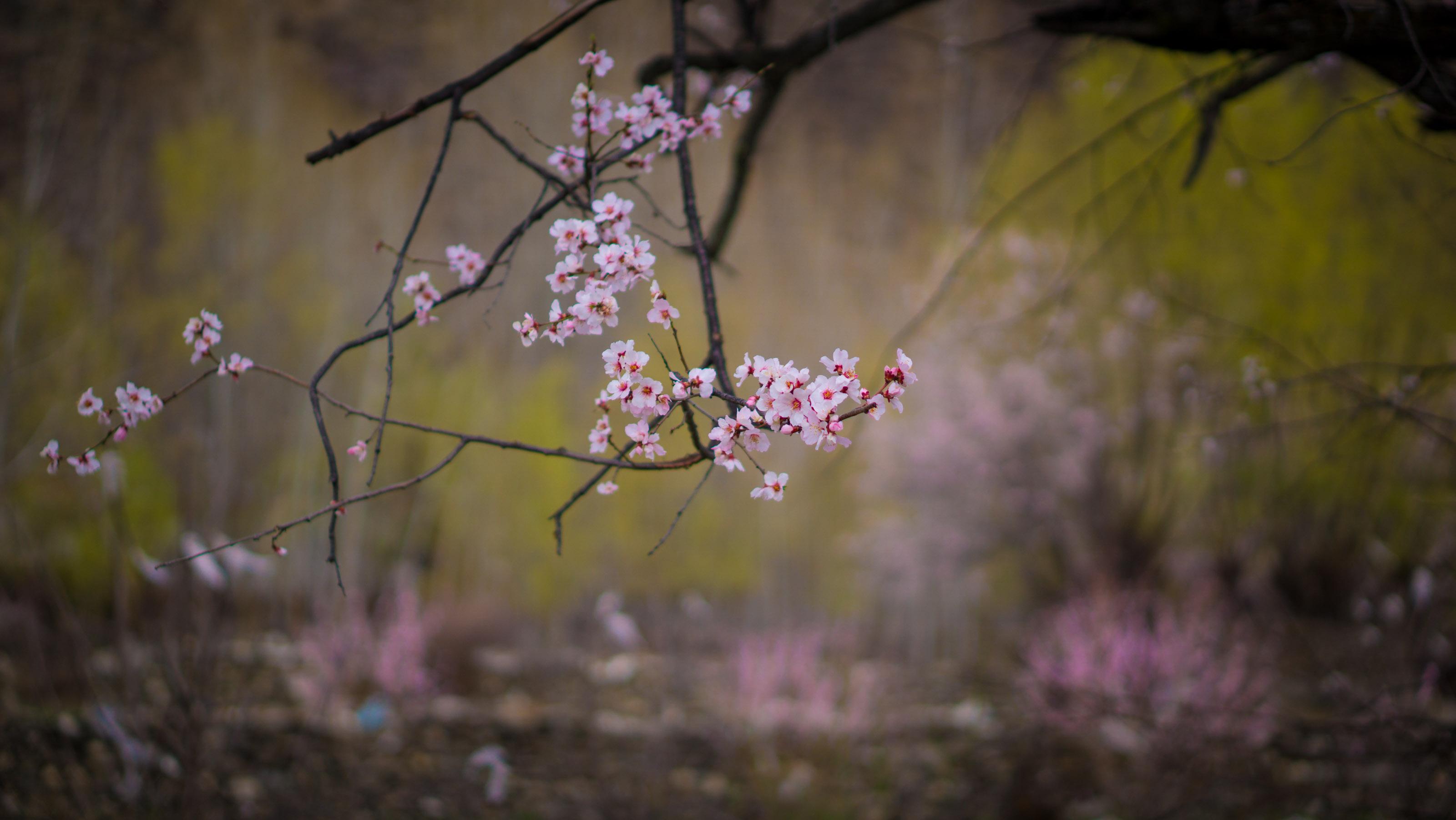 三分赤子心作品:4月的桃花