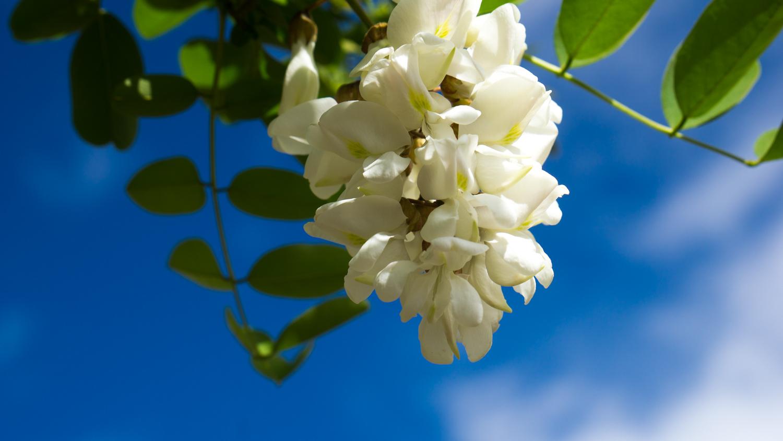 三分赤子心作品:西藏的槐树花