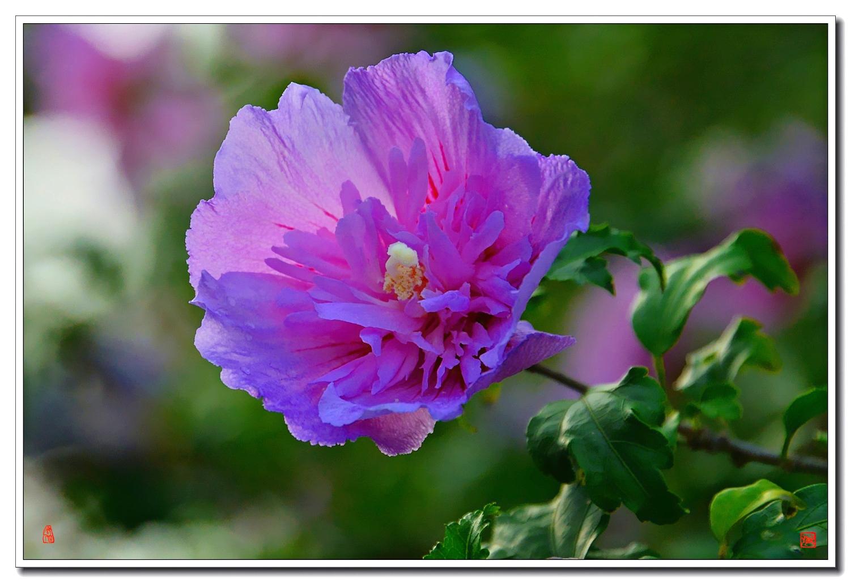 老张喜爱摄影作品:大气的木槿花