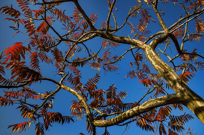 泼墨天堂作品:红叶开满天