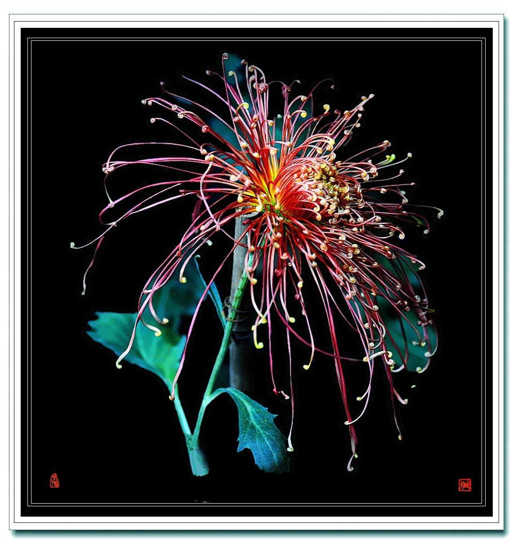 老张喜爱摄影作品:线菊的拍法