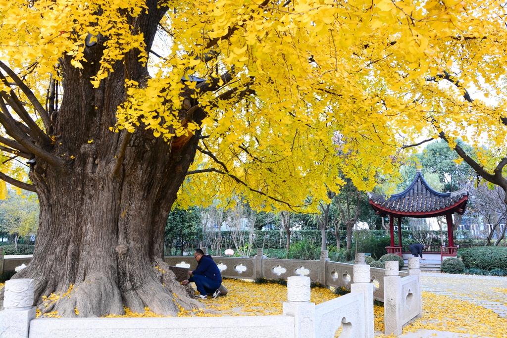 水墨禅心作品:金色深秋 - 千年古银杏