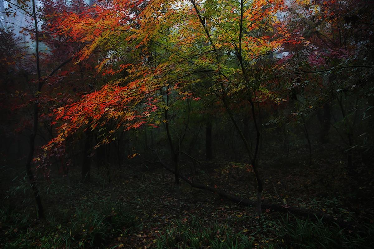 安徽老玉米作品:《红枫树林》