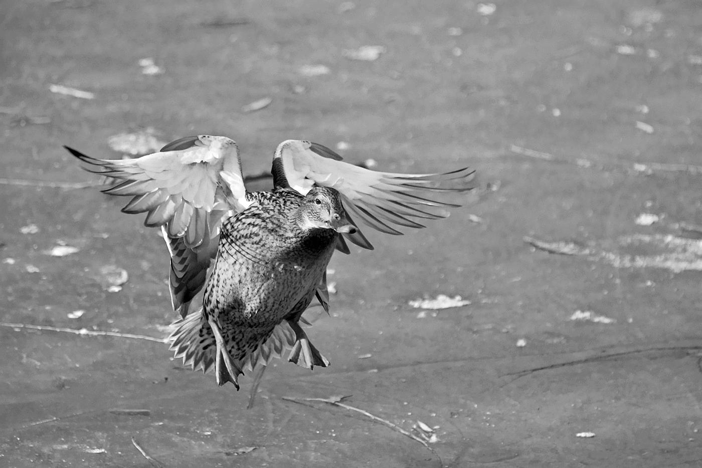 老张喜爱摄影作品:鸭鸭要么蹦要么飞