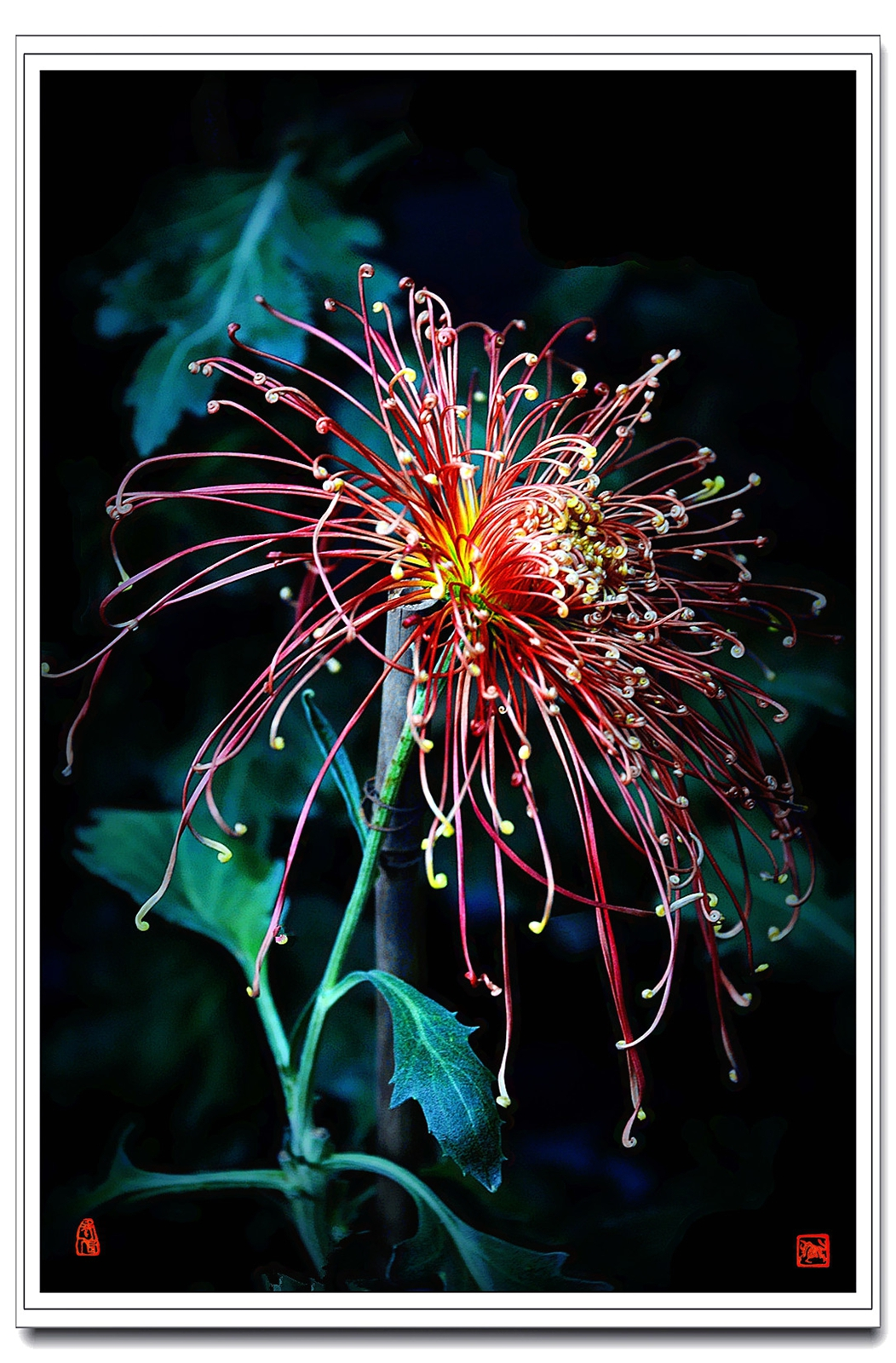 老张喜爱摄影作品:线菊的构图与拍法